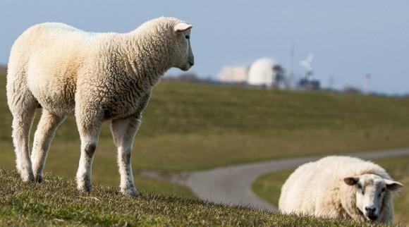 Schafe, die auf AKW starren